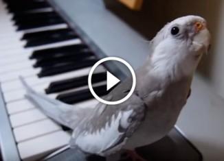 Попугай подпевает хозяину