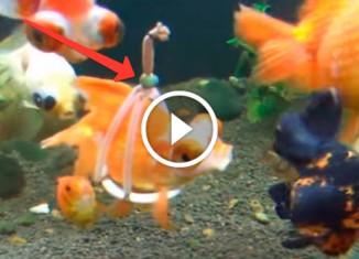 Протез для золотой рыбки