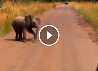 Слоненок атакует автомобиль