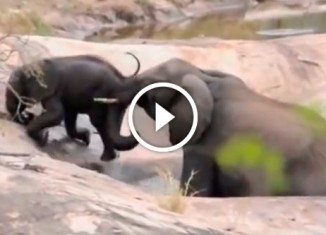 Слониха помогает слоненку выбраться из ямы