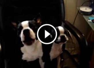 Собаки поздравляют с днём рождения