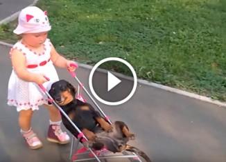Такса на коляске