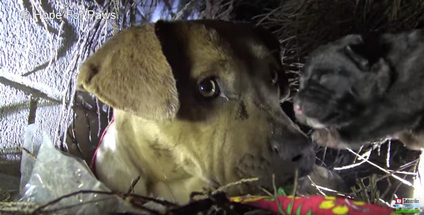 Картинки по запросу Мама-питбуль целовала каждого щенка, которого забирали люди