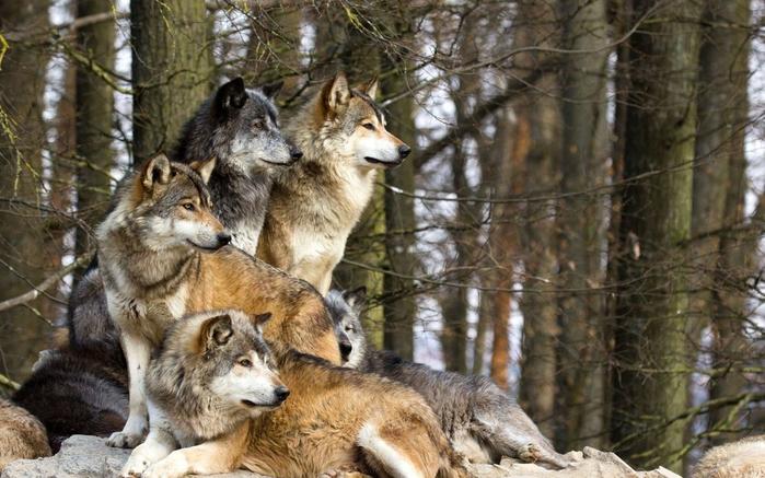 Дикие волки спасли беременную женщину во время бури и стали ее акушерами. Потрясающе!